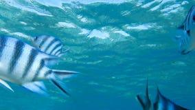 Rode overzeese vissen stock video
