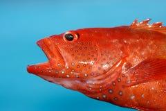 Rode overzeese vissen Stock Foto's