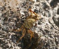 Rode Overzeese zwemmende krab op rotsen royalty-vrije stock afbeeldingen