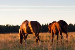 Rode paarden bij gouden uur op een weiland Royalty-vrije Stock Fotografie