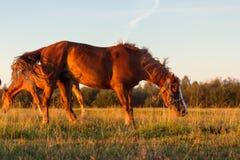Rode paarden bij gouden uur op een weiland Royalty-vrije Stock Foto