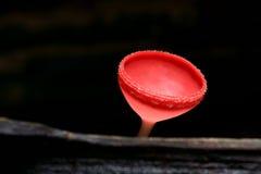 Rode paddestoel Royalty-vrije Stock Afbeeldingen
