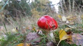 Rode paddestoel Stock Afbeeldingen