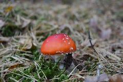 Rode paddestoel in bos Stock Foto