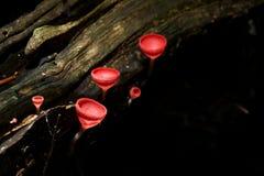 Rode paddestoelen Royalty-vrije Stock Fotografie