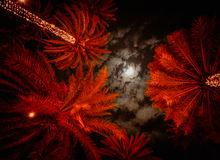 Rode palmen Royalty-vrije Stock Afbeelding