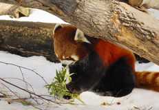 Rode Panda (1) Royalty-vrije Stock Afbeelding