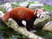 Rode panda Royalty-vrije Stock Fotografie