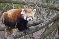 Rode panda Stock Fotografie