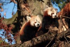 Rode panda. Stock Afbeelding