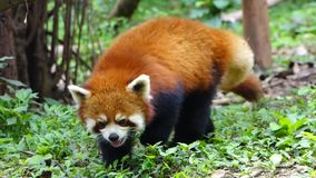 Rode panda stock video