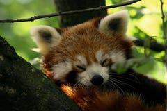 Rode panda Stock Foto