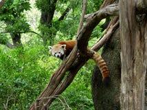 Rode Panda Stock Afbeelding