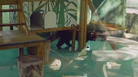 Rode panda achter glas in dierentuin in Thailand stock footage