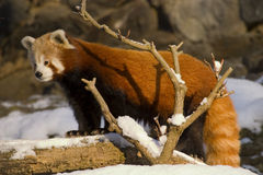 Rode panda (Ailurus fulgens) Stock Afbeelding