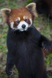 Rode panda Ailurus fulgens, ook gekend als Lesser Panda Royalty-vrije Stock Afbeeldingen