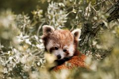 Rode panda, aka kleinere panda Royalty-vrije Stock Fotografie