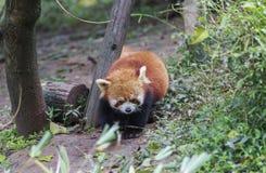 Rode Panda bij de dierentuin in Chengdu, China Stock Afbeelding