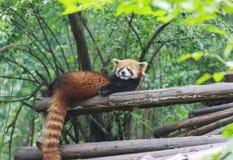 Rode Panda bij de dierentuin in Chengdu, China Royalty-vrije Stock Afbeelding
