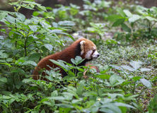 Rode Panda bij de dierentuin in Chengdu, China Stock Afbeeldingen