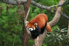 Rode Panda bij Dierentuin stock afbeeldingen