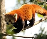 Rode panda in Chester Zoo Royalty-vrije Stock Foto