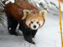 Rode Panda in de sneeuw Stock Afbeelding