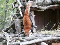 Rode panda die neer uit zijn toppositie in het dierlijke park van Sainte Croix in Rhodes Moselle komen royalty-vrije stock fotografie