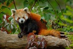 Rode panda die op de boom met groene bladeren liggen De rode panda draagt, Ailurus fulgens, habitat Het portret van het detailgez Royalty-vrije Stock Afbeeldingen
