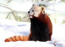 Rode Panda die van Sneeuw genieten Royalty-vrije Stock Foto's