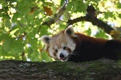 Rode Panda die zijn Neus likt royalty-vrije stock foto