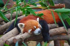 Rode panda (firefox) royalty-vrije stock foto's