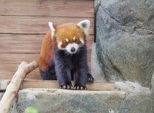 Rode Panda kleine Panda Royalty-vrije Stock Afbeeldingen