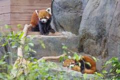 Rode Panda kleine Panda Stock Foto's