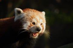Rode panda in laatste licht Royalty-vrije Stock Foto