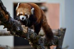 Rode panda op een boom Stock Afbeelding