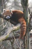 Rode panda op een boomtak stock fotografie