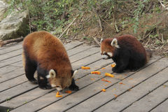 Rode panda's Royalty-vrije Stock Afbeelding