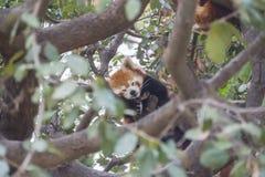 Rode pandaslaap op de takken van een boom, Ailurus fulgens Royalty-vrije Stock Afbeeldingen