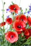 Rode Papaver Stock Afbeelding