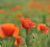 Rode papaver Royalty-vrije Stock Fotografie