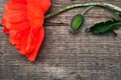Rode papaver Stock Foto's