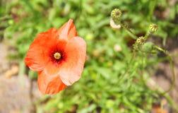Rode papaver Stock Afbeeldingen
