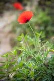 Rode papaver Stock Foto