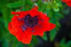 Rode papaver Royalty-vrije Stock Afbeeldingen