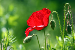 Rode papaver Stock Afbeelding