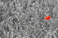 Rode papaver in de tarwe Stock Foto