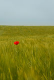 Rode papaver en groen gebied Royalty-vrije Stock Afbeeldingen