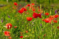 Rode papaver en wilde bloemen Royalty-vrije Stock Fotografie