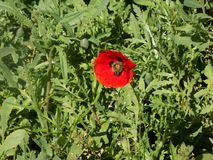 Rode Papaver in gras Stock Foto